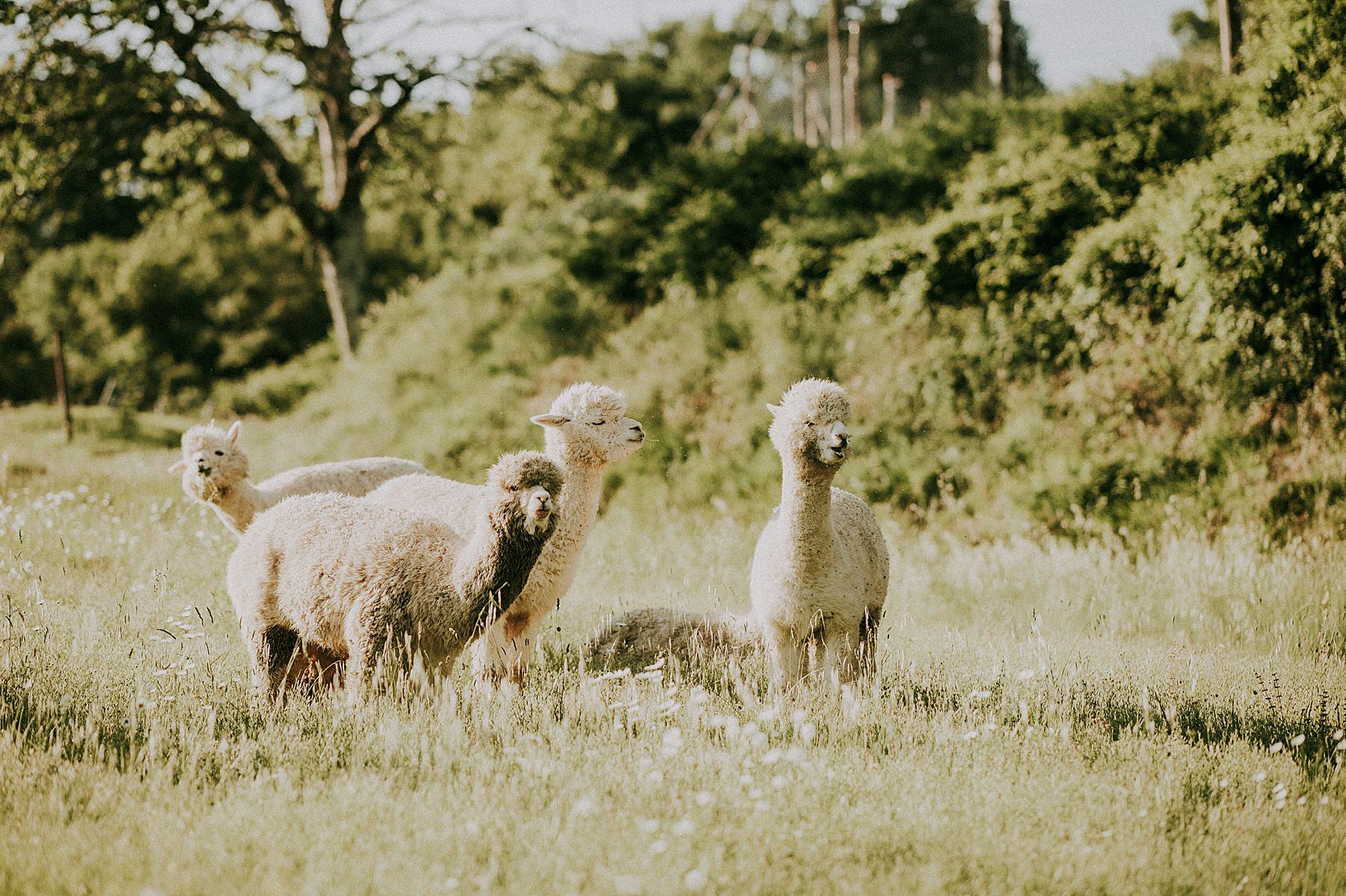 servizio fotografico con gli alpaca nel mugello