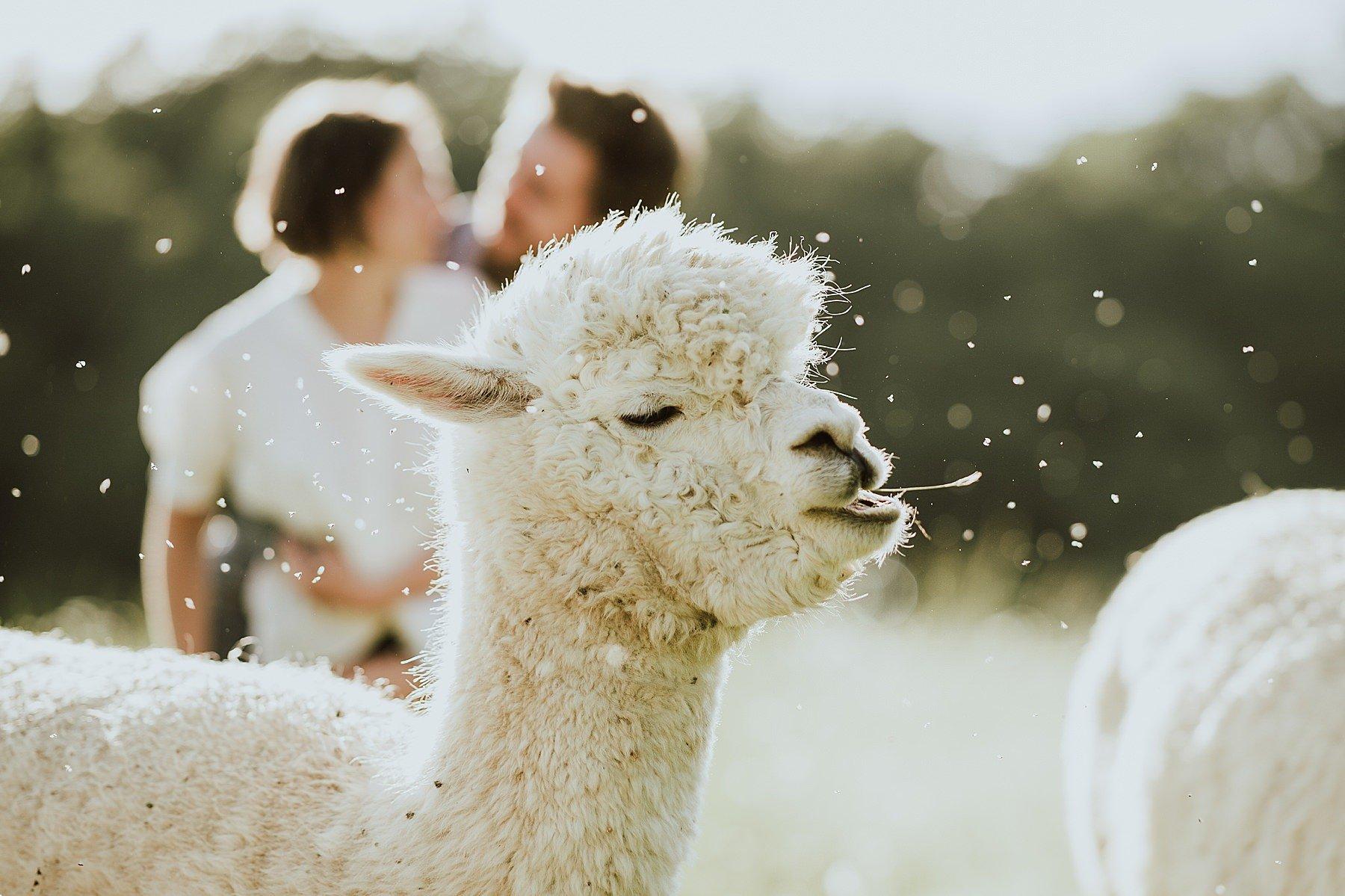 divertente servizio fotografico con gli alpaca nel mugello
