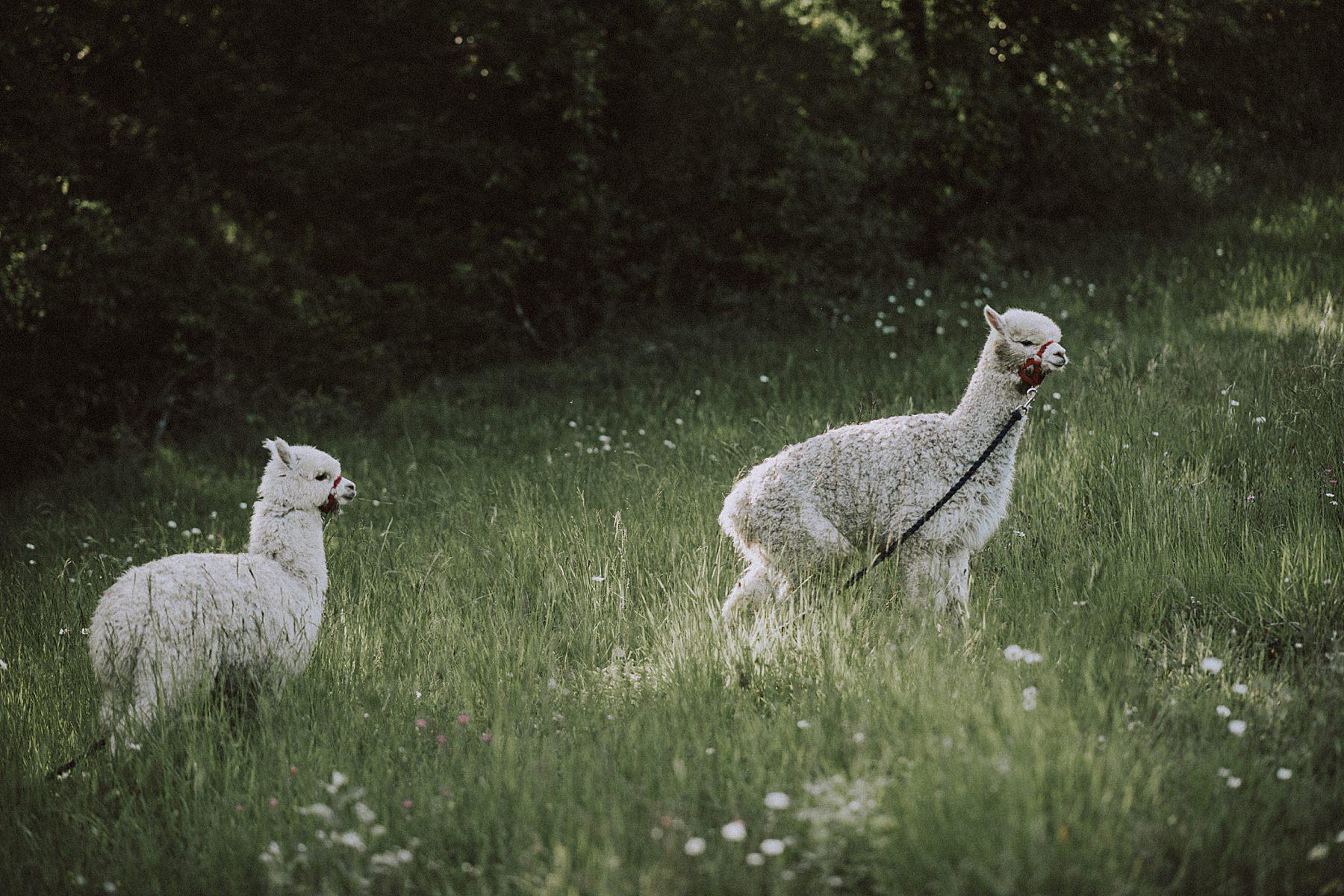 allevamento alpaca mugello servizio fotografico